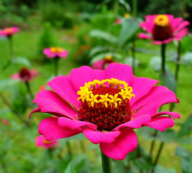 Pink zinnias for you!