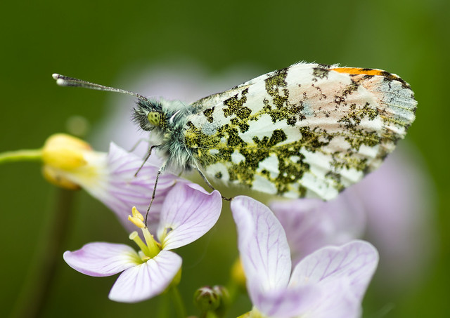 Orange Tip, Canon EOS 80D, Tamron SP AF 90mm f/2.8 Di Macro