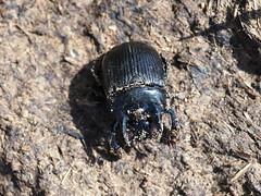 Minotaur Beetle - Typhaeus typhoeus