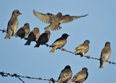 Room for One More - Starlings at Cresswell
