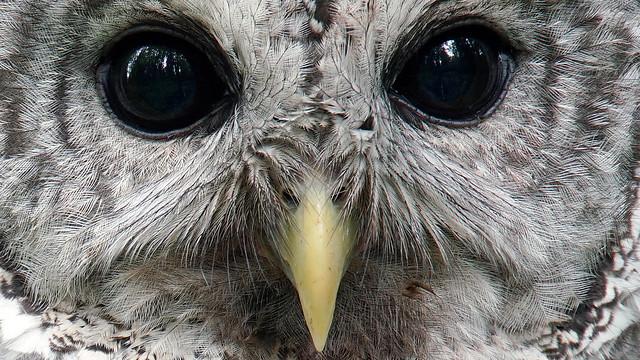 Barred Owl, Sony ILCA-99M2, Sony 500mm F4 G SSM (SAL500F40G)