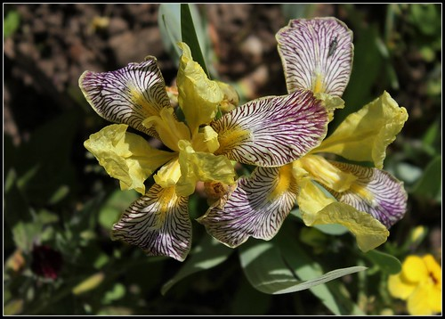 Iris 'Gracchus' - Thomas Ware 1884 34084043974_94d9937f50