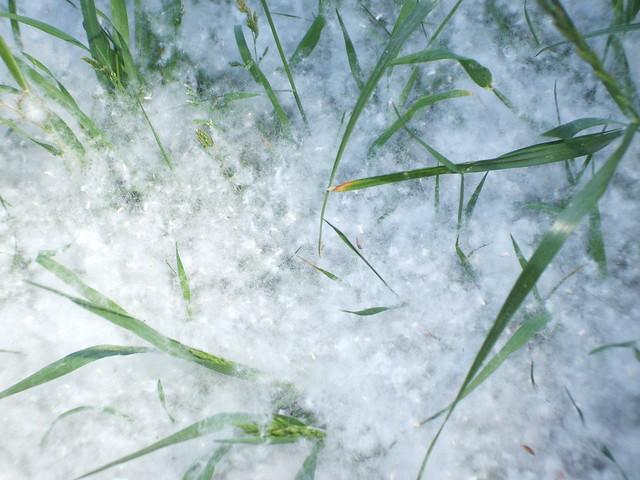 'Sommer-Schnee' - Pappel-Samen 2705201702, Fujifilm FinePix A700