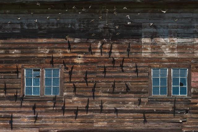 Swallow Shadows on Barn Wall 1975 D