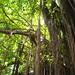 Small photo of Bearded Fig Tree