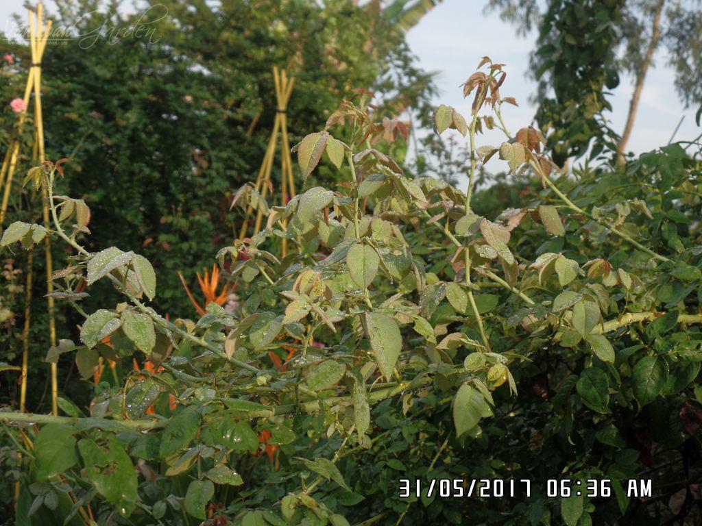 Cây hồng leo càng có nhiều laterals, càng có khả năng cho nhiều hoa hơn