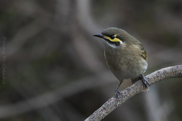 Yellow Faced Honeyeater, Para, Canon EOS 7D MARK II, Canon EF 500mm f/4L IS II USM