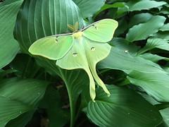 Luna Moth, Greenbelt Maryland