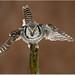 Northern Hawk Owl by BN Singh
