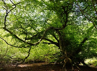 Beech tree in Houghton Forest 4