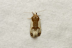 Henricus fuscodorsana (Cone Cochylid Moth) - Hodges # 3798