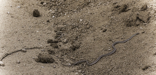 Mojave Patch-Nosed Snake (Salvadora hexalepis mojavensis) | by David A. Burkart