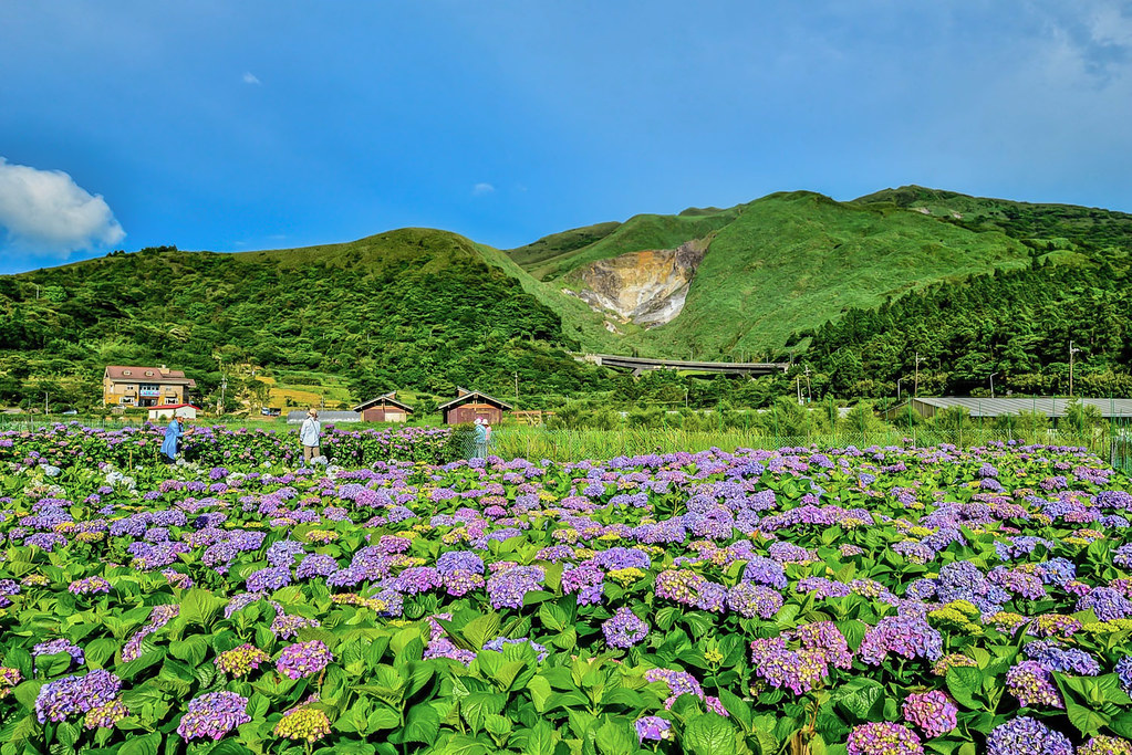 20170607竹子湖繡球花_170608_0007