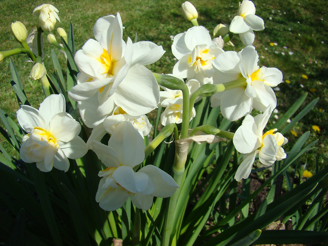 Pied de Narcisses blancs, Sony DSC-H9