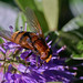 Large hoverfly Volucella zonaria on hebe #1 by Lord V