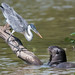 Cocoi Heron and Giant River Otter (Tim Melling)
