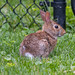 Rabbit, Green Hedge Lane, London ON