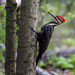 Pileated Woodpecker. by ricmcarthur