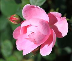 Rose / 薔薇(ばら)
