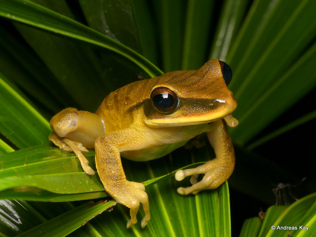 Basin tree frog, Hypsiboas lanciformis