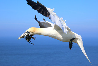 Gannet returning to the nest with seaweed