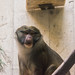 Small photo of Allen's Swamp Monkey - Cleveland Zoo