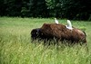 Cattle Egrets with the Bison