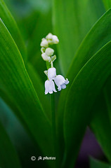 lily-of-the-valley-0301