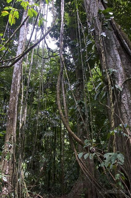 liana 0000 Corcovado, Osa peninsula, Costa Rica