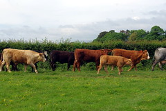 28.5.17 2 Cattle at Westwood Pasture Beverley 06