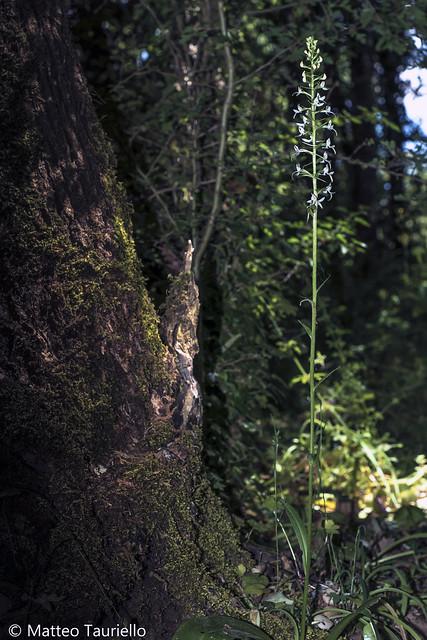 Platanthera kuenkelei subsp. kuenkelei var. sardoa.