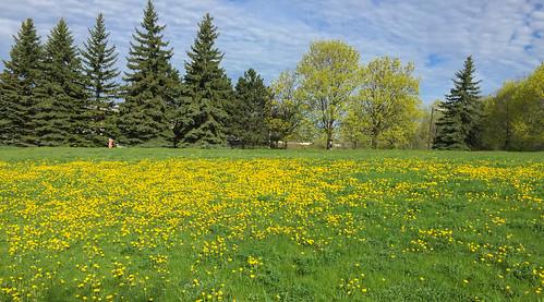 dandelion spring springtime primavera diente leon león