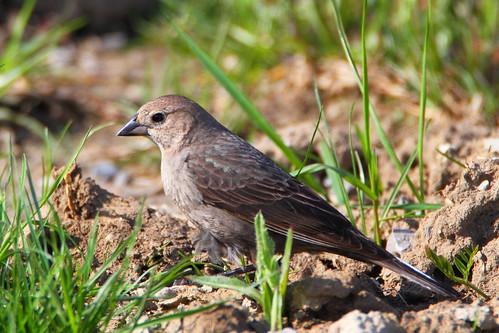 brownheaded cowbird female