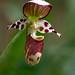 alaskan hybrid spotted lady slipper, cypripedium x alaskanum