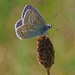Common Blue by andraycook