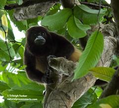 Howler Monkey, Ecuador