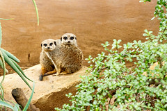 Meerkats sitting together on a rock