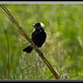 Bobolink by Gregs eBirds