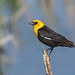 Yellow-headed Blackbird by Kirchmeier