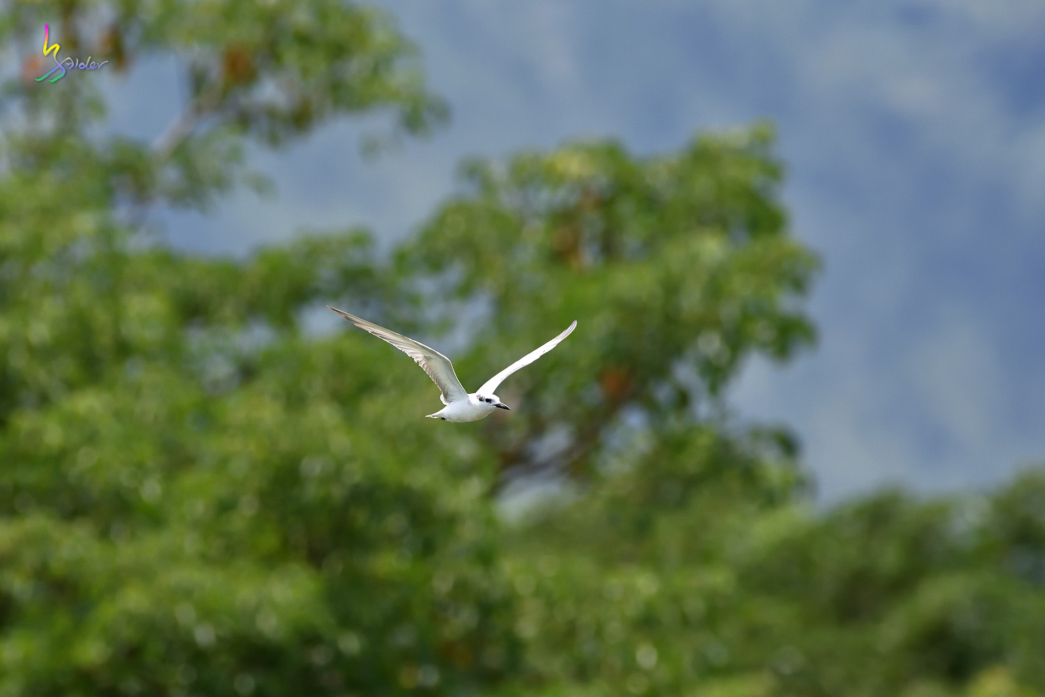 Whiskered_Tern_4991