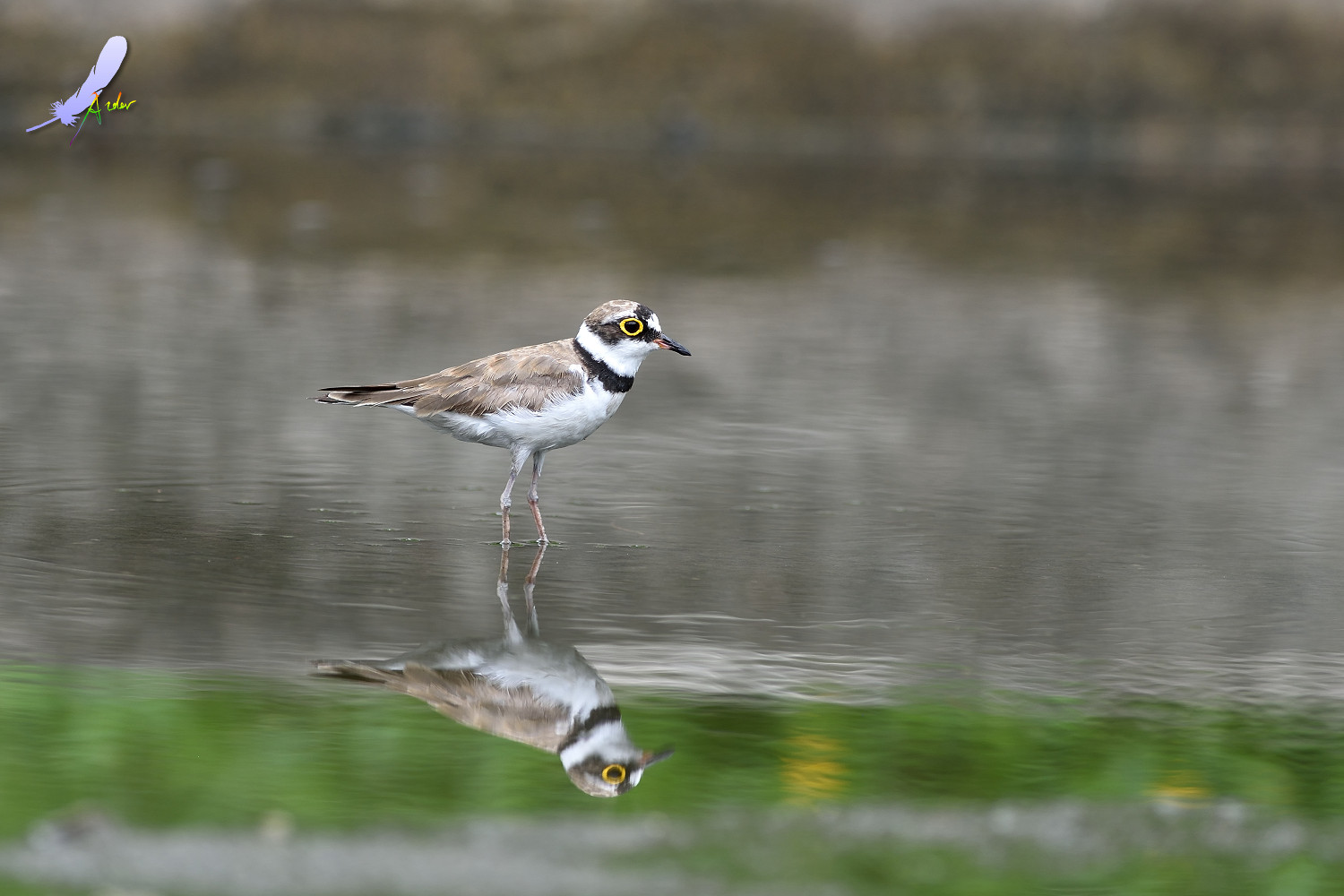 Little_Ringed_Plover_4898