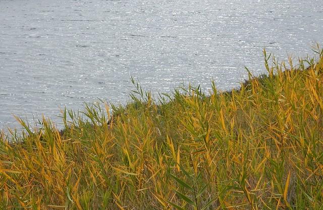 Goldening Reeds, Nikon COOLPIX S9900