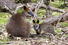 Wallaby mum and Joey 2017-06-18 (60D_1379)