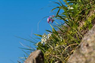 斜面に咲くホソバヒナウスユキソウとユキワリソウ