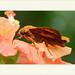 Bungalotis astylos - Freckled Scarlate-eye por J. Amorin