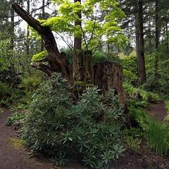 #treestump #trio in the #fernstumpery ... #rhododendron #botanicalgarden #stump #path #PNW #federalway