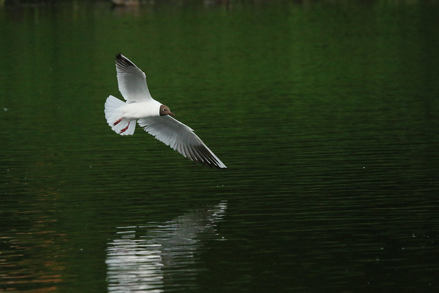 mouette rieuse;