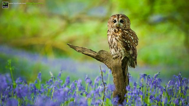 Tawny Owl - Bluebell Woods
