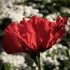 Poppy Explosion