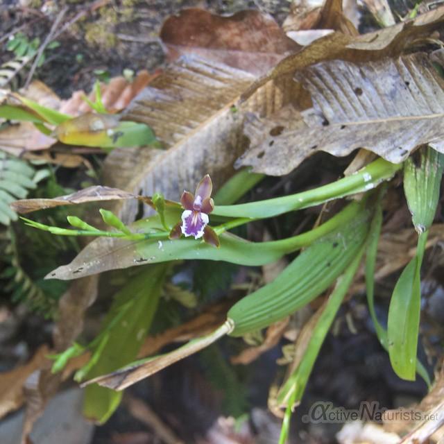 orchid 0000 Corcovado, Osa peninsula, Costa Rica